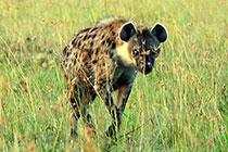 偶遇斑鬣狗