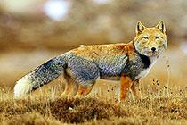 藏狐的秋日物语