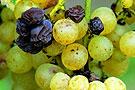 腐烂葡萄酿制葡萄酒?
