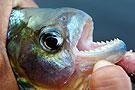 亚马逊飞钩甩钓食人鱼