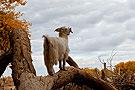 羊上树奇观