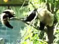 熊猫宝宝遭妈妈暗算