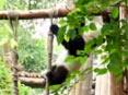 勇猛大熊猫表演杂技