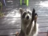 实拍浣熊妈妈用小石头敲门为幼崽讨食
