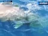 南加州近海岸史上首现大规模抹香鲸群