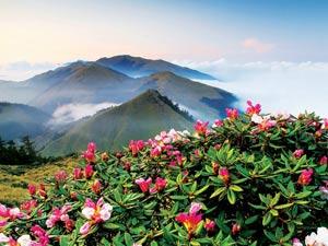 台湾代表性高山植物:玉山杜鹃
