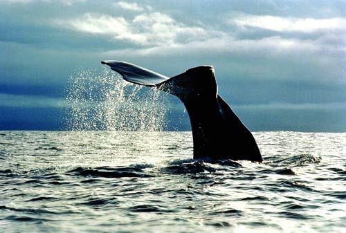新西兰凯库拉海域附近的抹香鲸众多