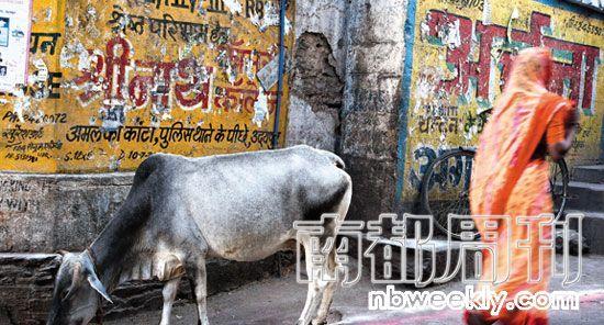 牛在印度被认为是神圣的,在印度的街头,常常会看到自由行走的牛。