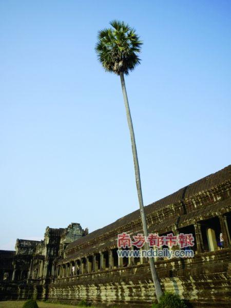 守护着小吴哥的棕榈树。