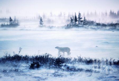 Wapusk国家公园里几乎聚集了全部野生北极熊