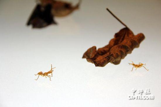 金雕蚂蚁。(嘉义市政府提供)