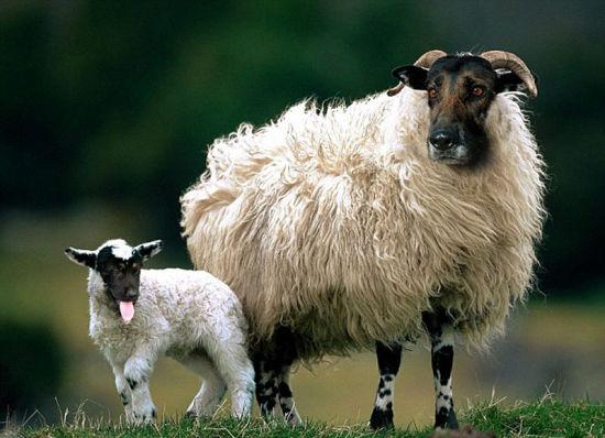 达雷默将羊和德国牧羊犬结合起来。