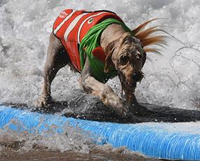 世界狗狗冲浪大赛 尽显英狗本色