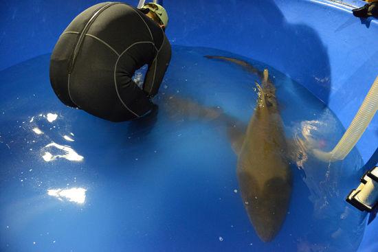 沙虎鲨落户北京海洋馆 隔离生活全真探秘