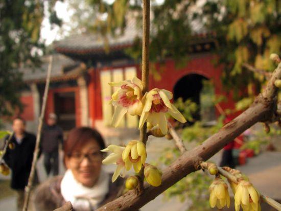 北京植物园早花蜡梅绽放