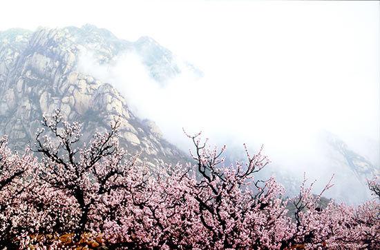 最美的遇见 凤凰岭第十七届杏花节开启