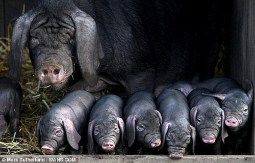 猪弟一性交_中国梅山猪首次在英国成功繁衍(图)_农业区域经济