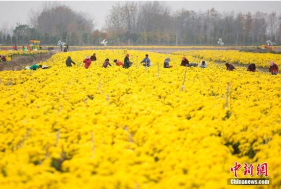 淮安金丝黄菊丰收 采摘场面壮观