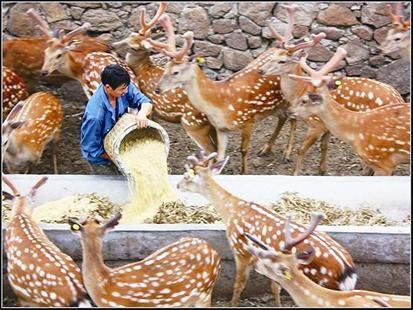 梅花鹿不挑食,养殖难度比较小