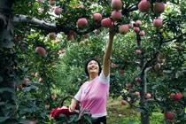 北京昌平:苹果采摘