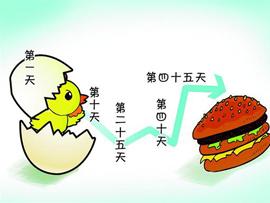 肯德基麦当劳原料鸡45天速成 饲料能毒死苍蝇