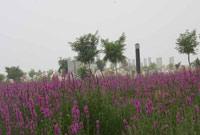 薰衣草花丛掩映下的奇石山