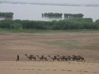 旅游胜地沙湖接送游客的驼队