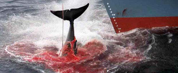 目前全世界13种鲸中已有至少5种濒临灭绝