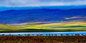 专家推断西藏藏羚羊数量已近20万只