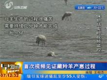 视频:可可西里藏羚羊野外产崽全过程