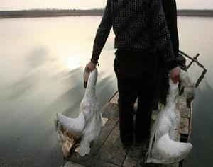 武汉府河湿地50余只珍禽遭偷猎者毒手