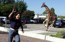 意大利长颈鹿出逃街头横冲直撞