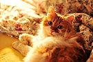 摄影:定焦拍宠物猫