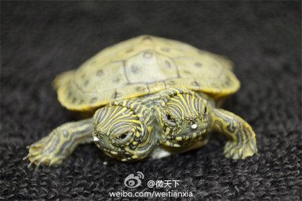 双头龟降生美国动物园