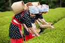 在日本当了一回采茶女
