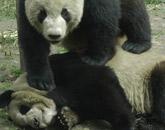 来做熊猫饼