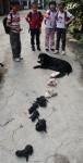 图文:黑狗顺利连产13个小狗引小孩围观