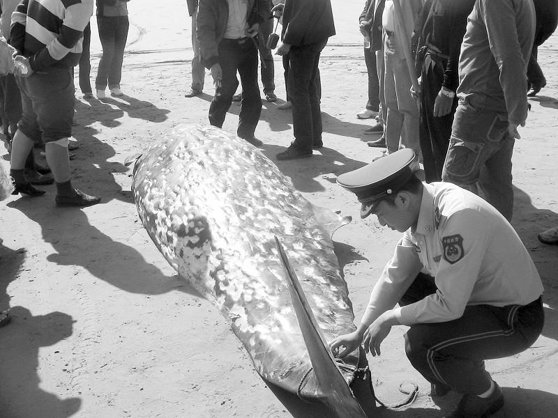 1吨重的喙鲸搁浅长乐海滩