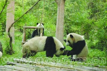 据介绍,扎佐森林野生动物园从2007年4月开始与四川省成都大熊猫繁育