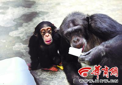 """昨日,秦岭野生动物园,黑猩猩""""艾艾""""正吃冰棍,孩子眼巴巴地看着 本报"""