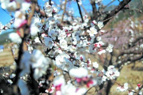 春天来了 冕宁果树开花