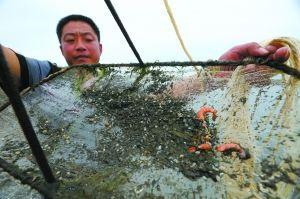 9月3日,山东青岛,虾塘打捞上来的没有吃完的饵料和几条死虾。当地养殖户已准备起诉。