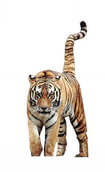 壁纸 动物 虎 老虎 桌面 368_600 竖版 竖屏 手机