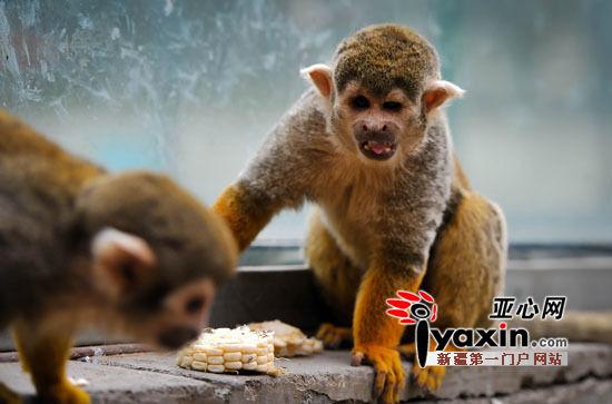 图为:孤单的公松鼠猴在笼内独自晒着太阳。亚心网记者 陈峰 摄   9月4日11时,记者来到天野,刚走到鸟林,听到一名游客大声说:快看快看,养珍珠鸡的笼舍里还有猴子。记者看到,在珍珠鸡笼舍里,有两只猴子。一只一见到有人接近立刻把身体贴在玻璃墙上,另一只则安静地坐在一边吃玉米。鸟林饲养员阿曼古丽告诉记者,这两只猴子是松鼠猴,吃玉米的是母猴,另一只是公猴。   公猴很不老实,当有人站在它面前时,它突然仰躺在玻璃墙旁的台子上,左手揪着头顶毛发,一副忧愁的样子,睁一只眼闭一只眼偷偷看着人。人一走动,它又立
