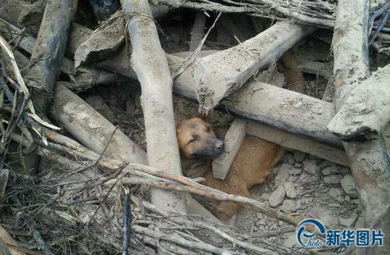 被地震废墟掩埋77小时的黄狗。(图片来源:CFP)