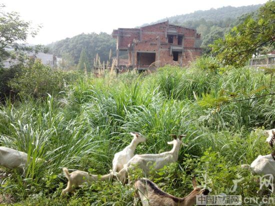一栋废弃的别墅成了养蜂厂(央广网记者 吴喆华 摄)