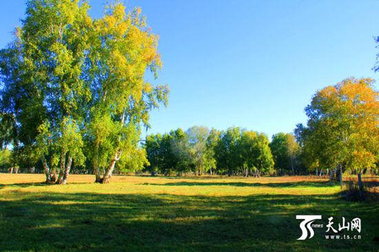 哈巴河县白桦林景点中秋节迎来旅游的又一个小高峰.