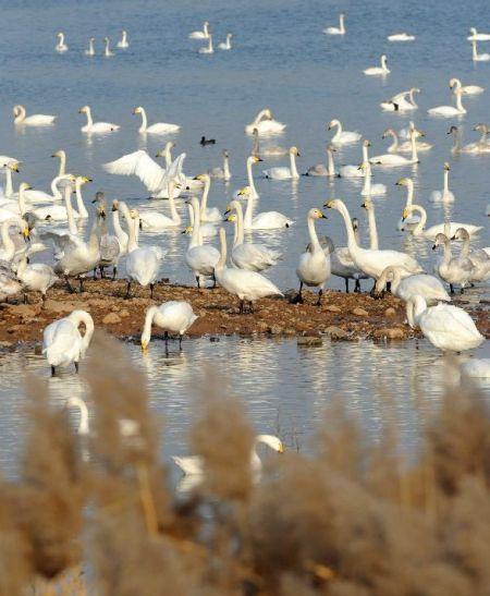 1月17日,白天鹅在三门峡黄河湿地栖息。新华社记者朱祥摄