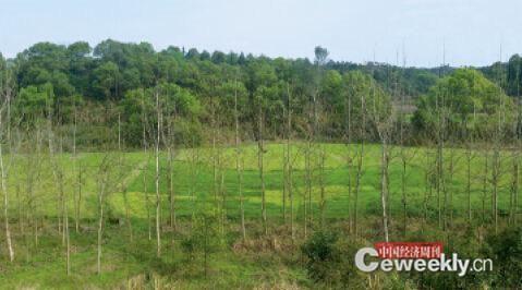 """苏荣在江西任职期间开展的造林绿化工程,被中央巡视组批为""""脱离实际""""、""""好大喜功""""图为一些地方为完成任务,直接在农田里种上了树。《中国经济周刊》记者 董显苹 摄"""