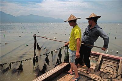 龙珠村兰义城说,因海水被污染,渔民养殖的数千亩龙须菜大量减产。